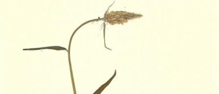 Die Ährige Teufelskralle in voller Blüte - ein Bild aus meinem Herbarium