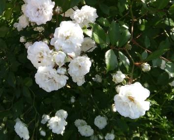 Blühende Wildrosen - auch noch im Herbst.